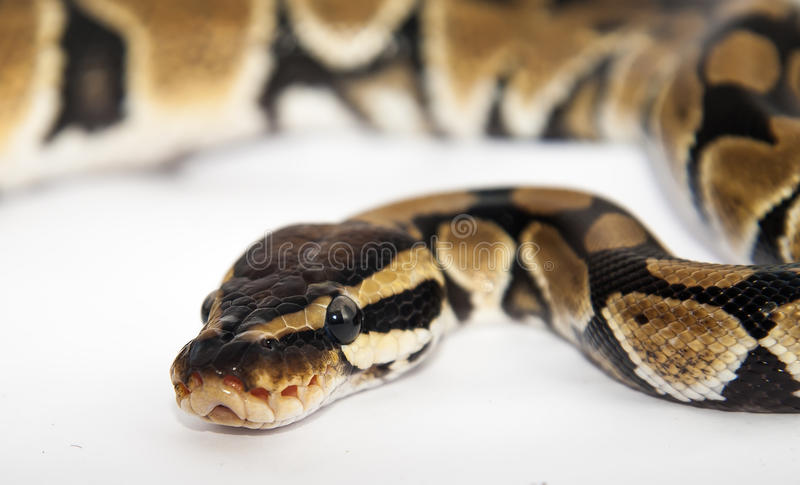 Download Royal python stock photo. Image of creep, background - 25891338