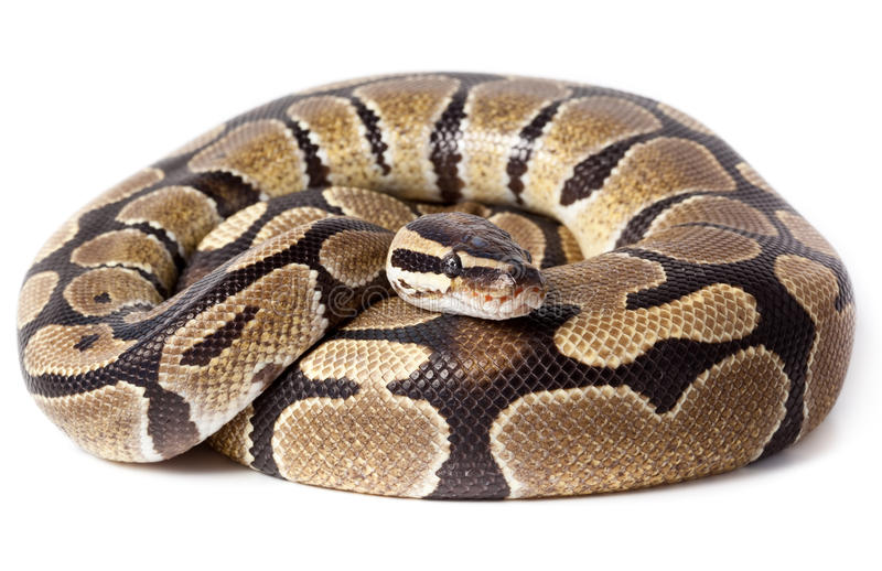 Royal, python de bille (de fondation royale) photo libre de droits