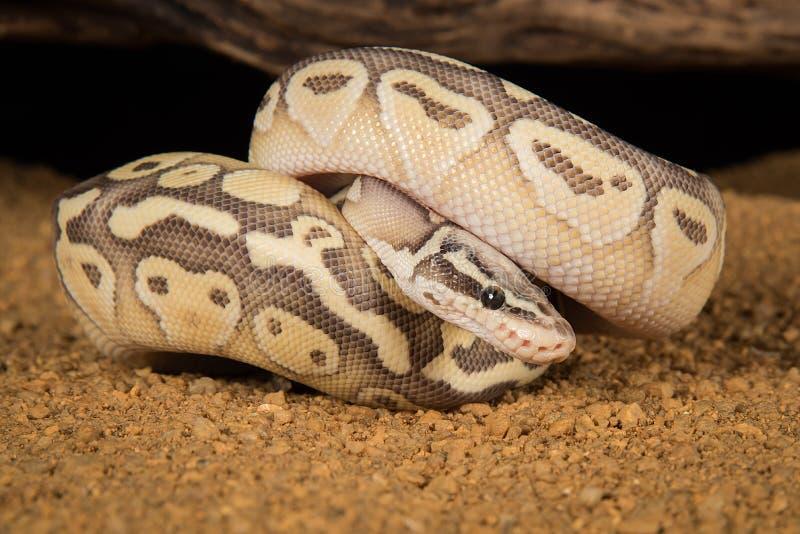 Royal Python Wrapped Around Tree Stock Photo - Image of