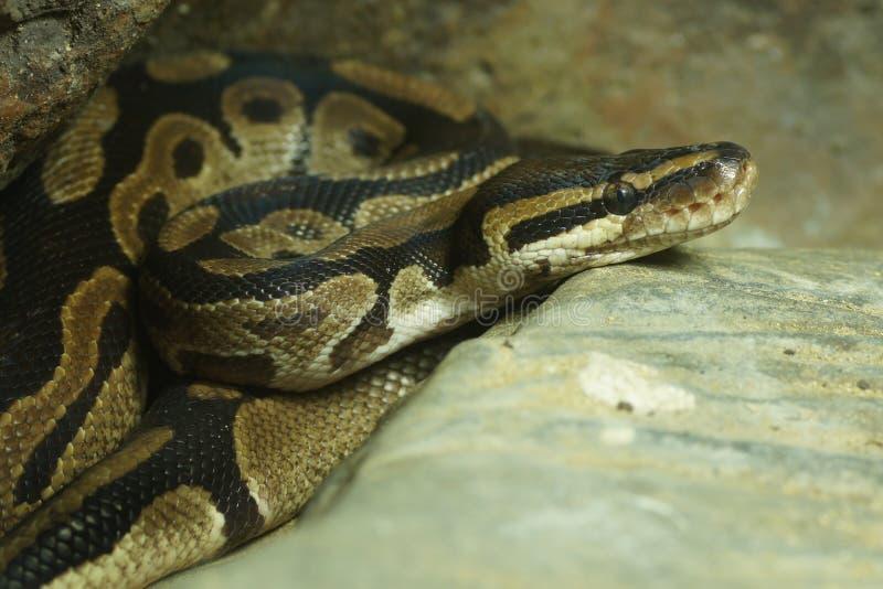 Download Royal Python Snake stock photo. Image of myanmar, animal - 20491524