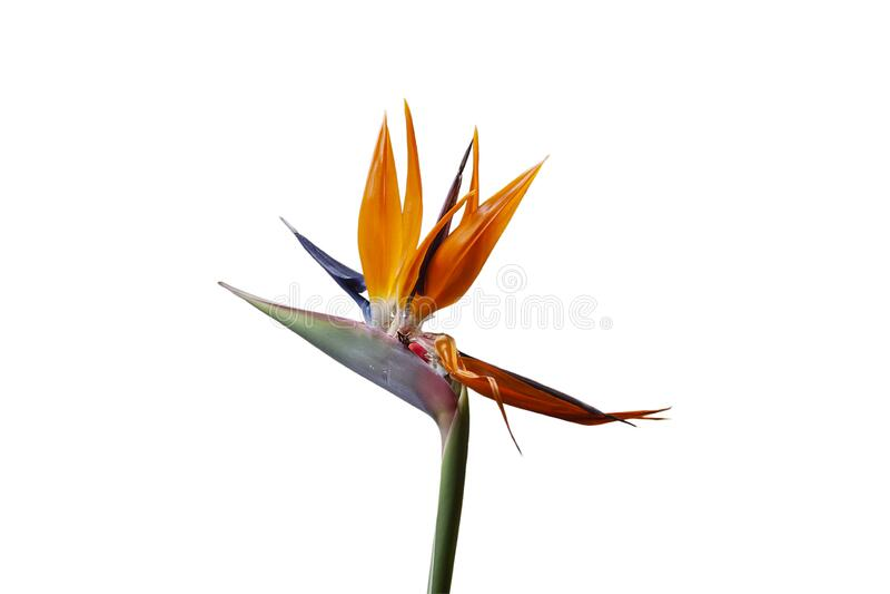 Royal Strelitzia Blommor royaltyfri bild