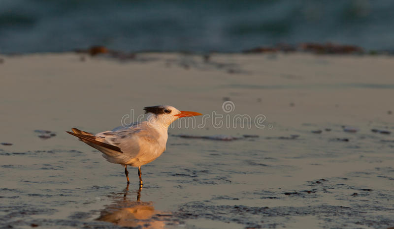 Download Royal Tern stock photo. Image of exotic, bird, nature - 25146164
