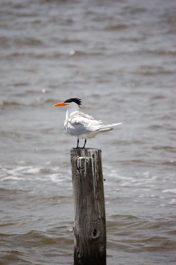 Free Royal Tern Royalty Free Stock Photo - 648655