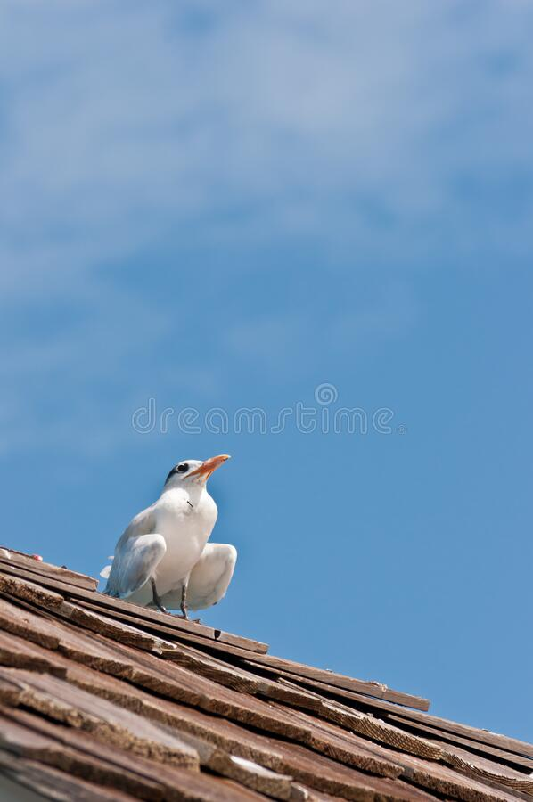 Royal tern, sea bird standing on roof of a tropical pier royalty free stock photo