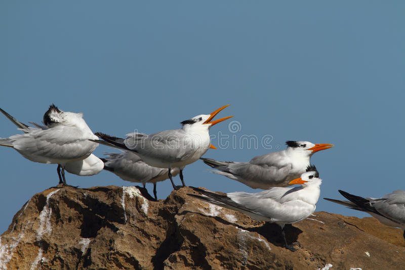 Download Royal terns stock photo. Image of royal, orange, resting - 17030110