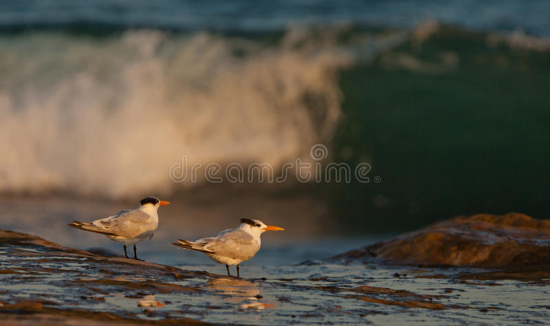 Download Royal Terns Royalty Free Stock Images - Image: 25146159