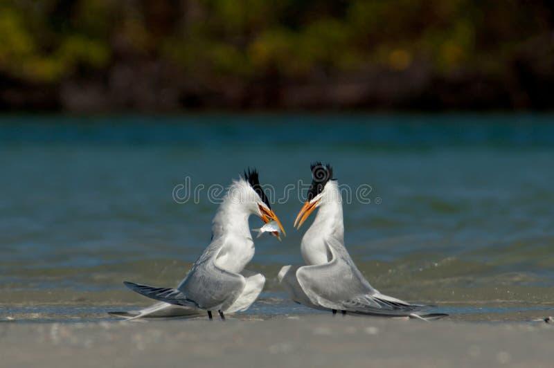 Royal terns exhibiting feeding and mating behaviors on sandbar. Royal terns exhibiting feeding and mating behaviors on sandbar in Wiggins Pass, Florida, USA stock photo