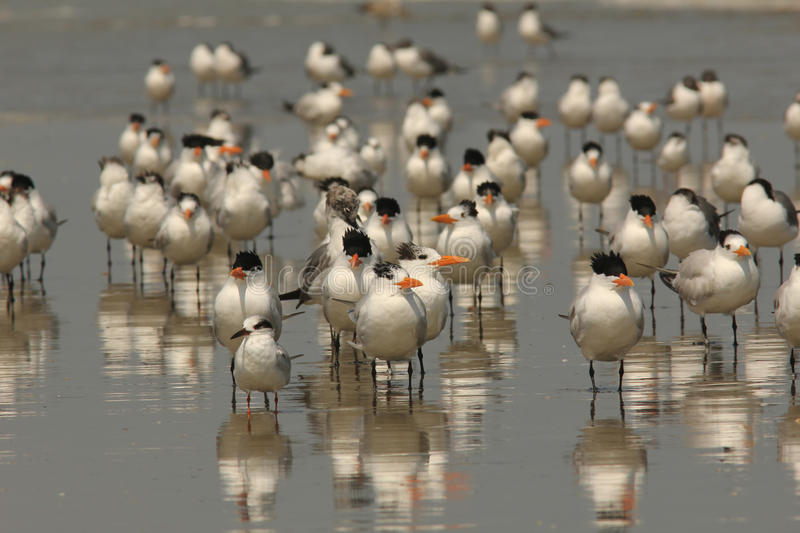 Royal Terns and Sandwich Tern - Cumberland Is, Ga stock images