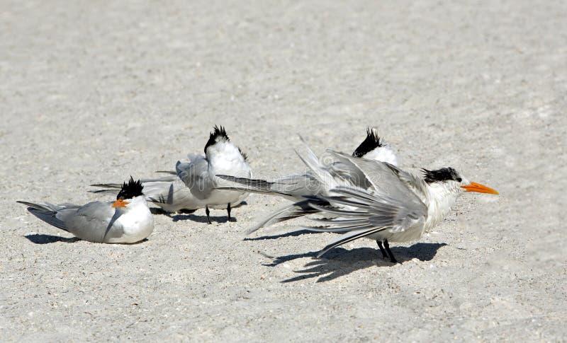 Download Royal Terns (Sterna Maxima) Royalty Free Stock Photography - Image: 30041787