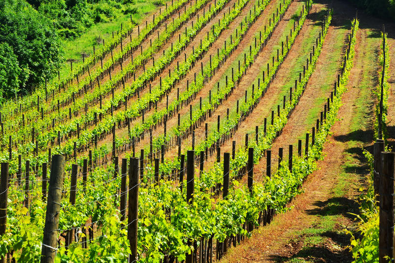 Royal vineyard stock photo