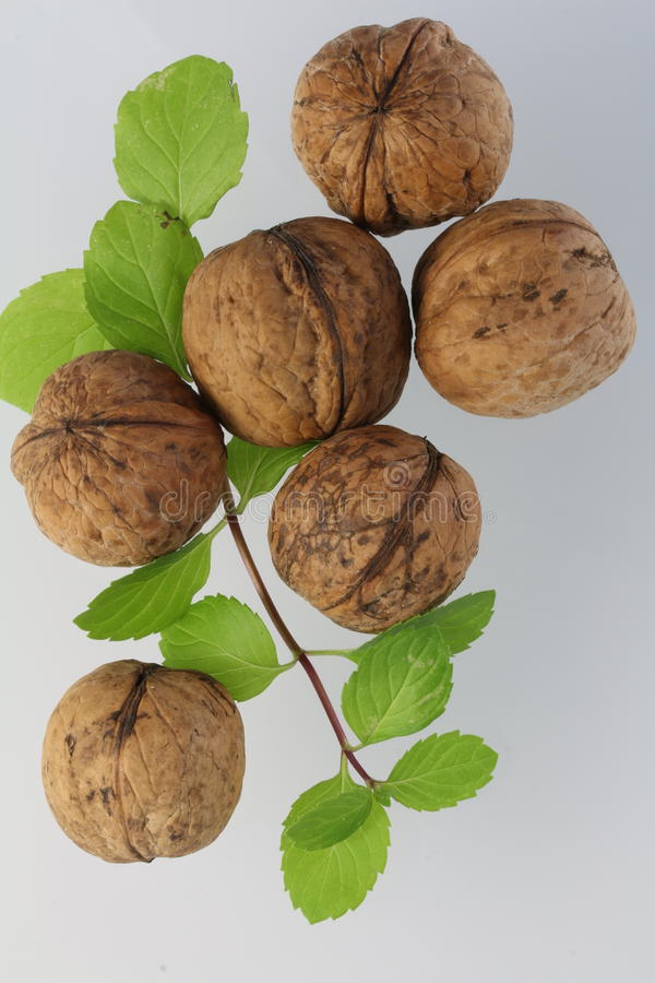 Royal walnut royalty free stock images