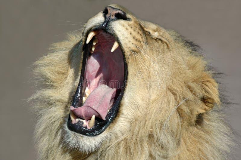 Royal Yawn royalty free stock image