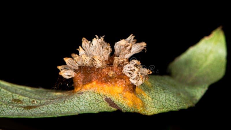 Rozadura de la hoja de la pera causada por sabinae del gymnosporangium imágenes de archivo libres de regalías