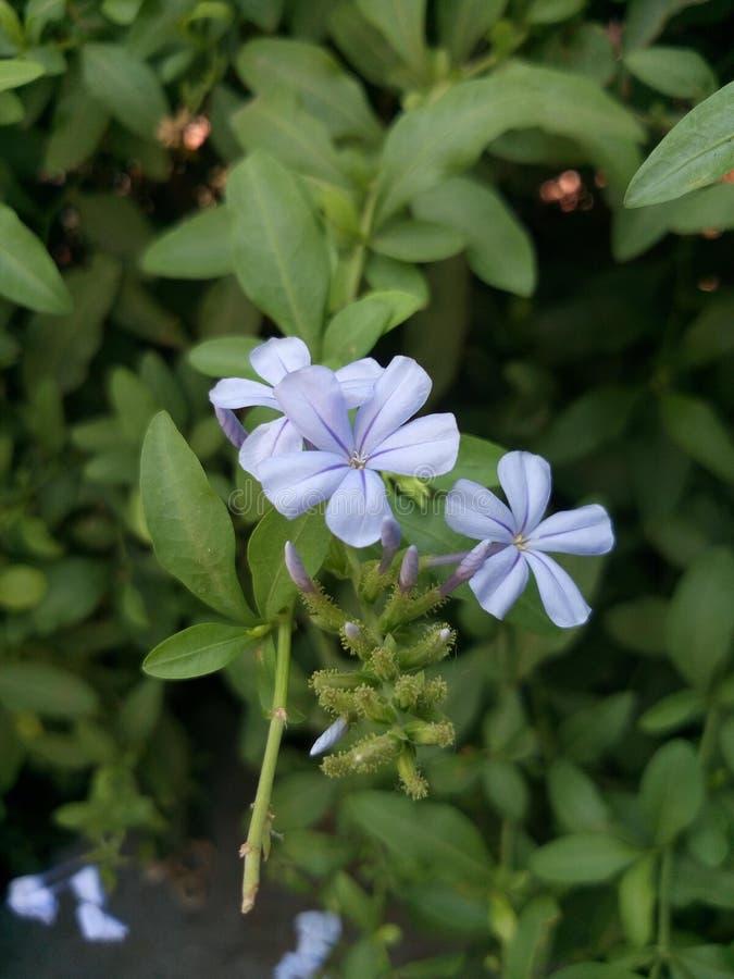 Rozanielony kwiat obrazy royalty free