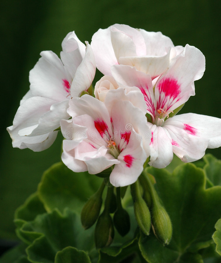 rozbryzguje się biały pelargonium americana obrazy royalty free
