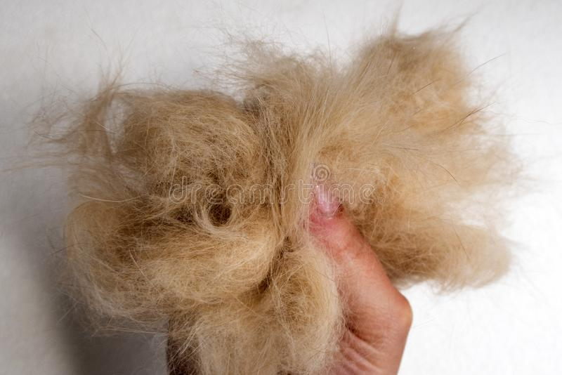 Rozczesany włosy kot obraz stock
