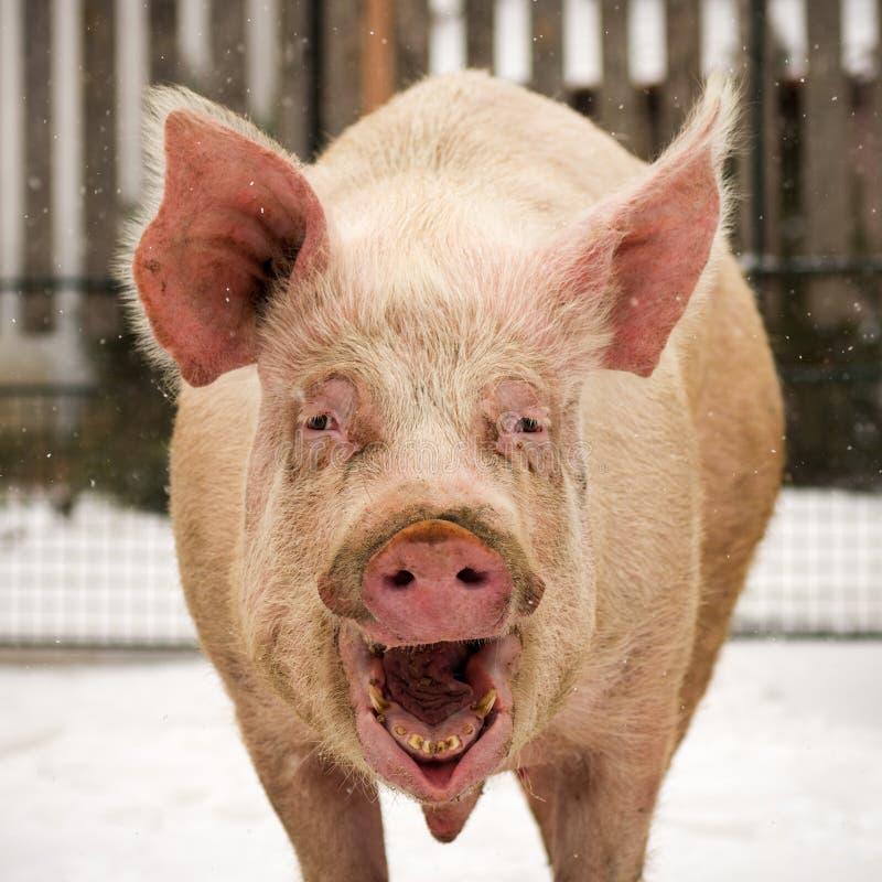 Roześmiana śmieszna duża świnia zdjęcie stock