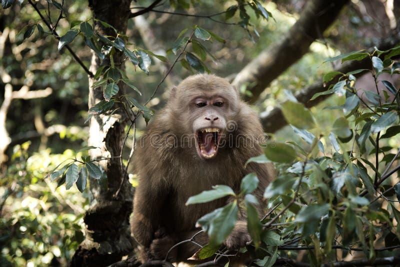 Roześmiana Tybetańska Macaca małpa zdjęcie royalty free
