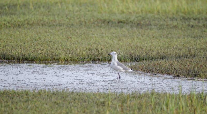 Roześmianego frajera ptak w solankowym bagnie, Pickney wyspa Krajowy rezerwat dzikiej przyrody, usa zdjęcia stock
