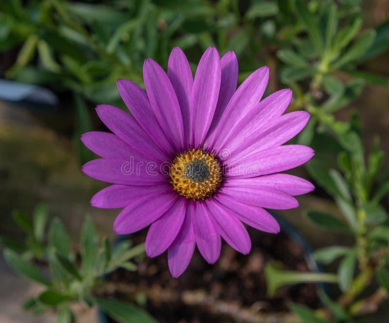 Roze Afrikaanse Daisy Osteospermum-jucundum stock fotografie