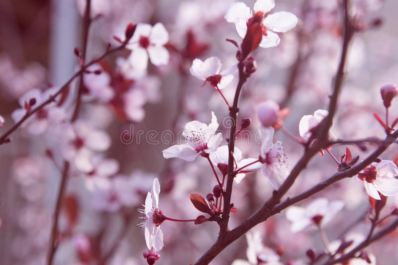 Roze amandel bloosoming tak royalty-vrije stock foto's