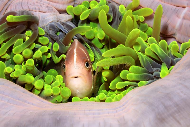 Roze Amenonefish, Amphiprion-perideraion royalty-vrije stock foto's