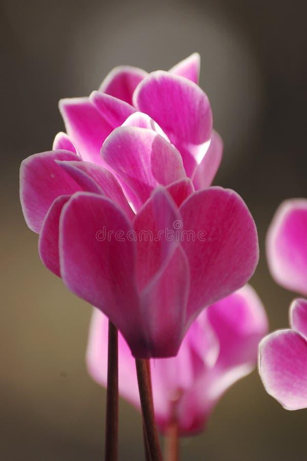 Roze & Witte Bloem royalty-vrije stock foto's