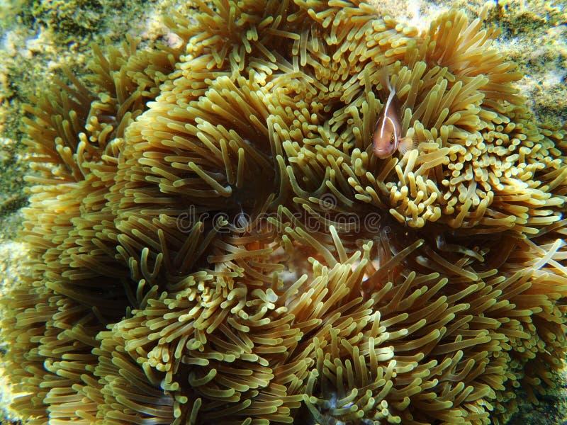 Roze Anemone Fish stock foto