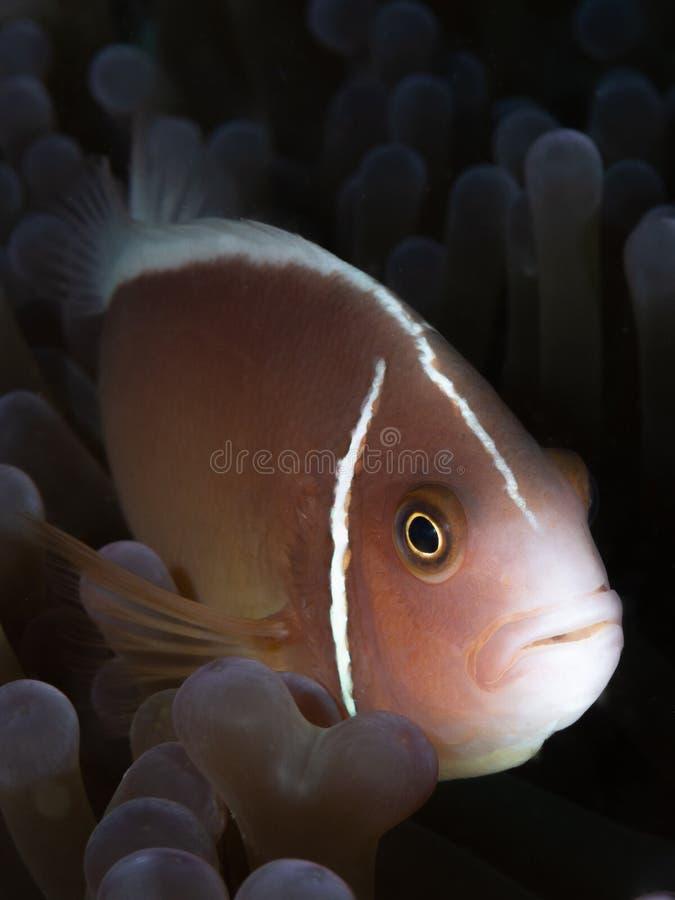 Roze anemonefish, Amphiprion-perideraion Vrij duiken in het Noorden Sulawesi, Indonesië stock foto