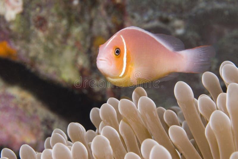 Roze Anemonefish in Micronesië stock foto's