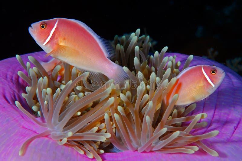 Roze anemonefish (perideraion Amphiprion) stock foto's