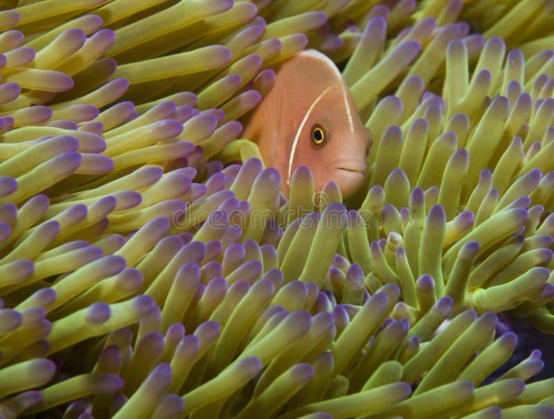 Roze anemoonvissen royalty-vrije stock afbeeldingen