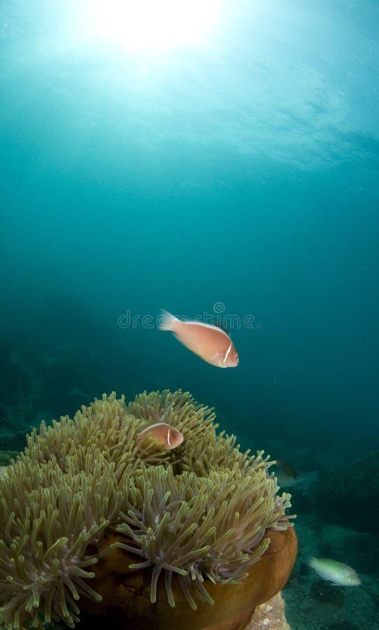Roze anemoonvissen stock afbeeldingen