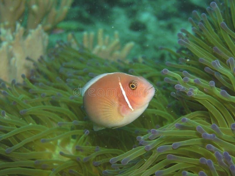 Roze anemoonvissen stock foto
