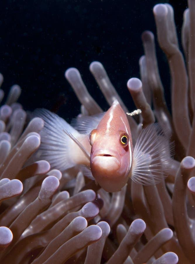 Roze Anemoonvissen met donkere achtergrond stock fotografie