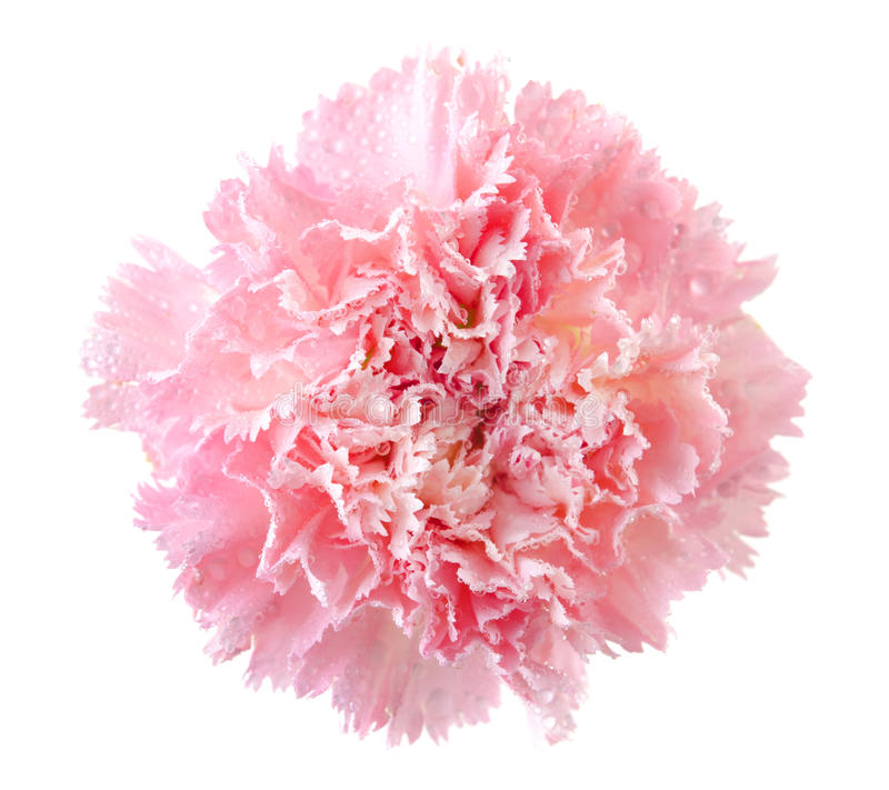 Roze anjer stock afbeelding