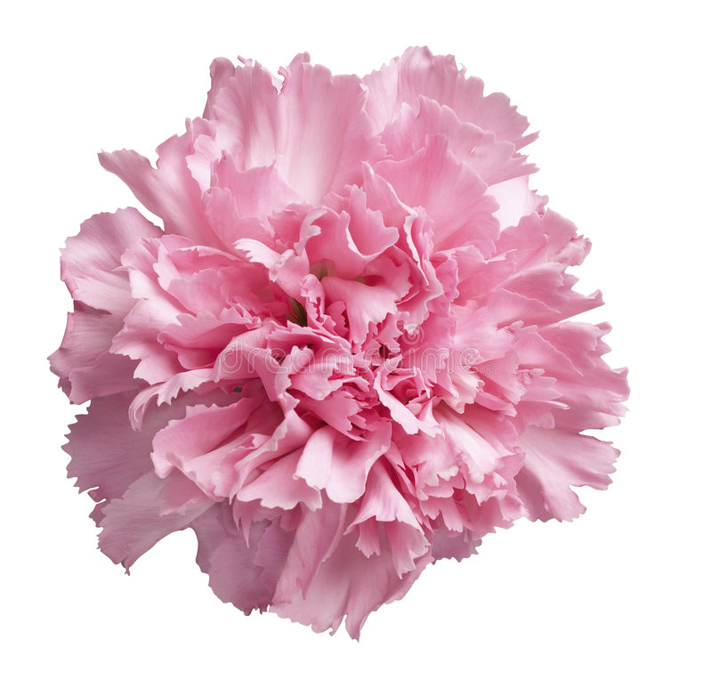 Roze Anjer royalty-vrije stock afbeelding