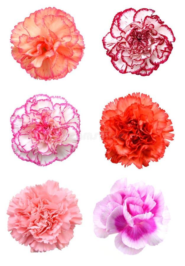 Roze anjerbloem royalty-vrije stock afbeelding