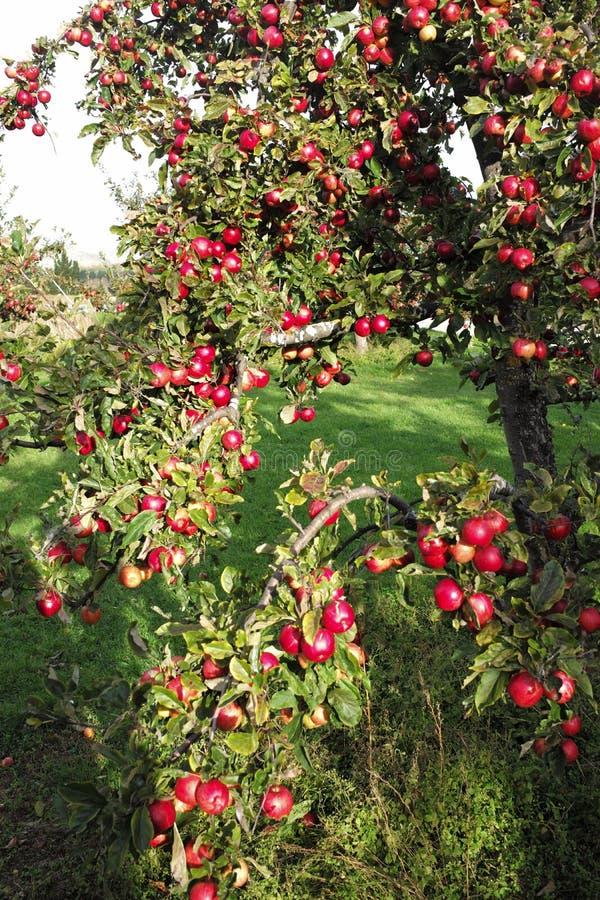 Roze appel in Nieuw Zeeland royalty-vrije stock afbeeldingen