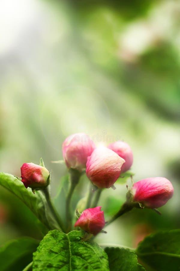 Roze appelbloemen royalty-vrije stock foto