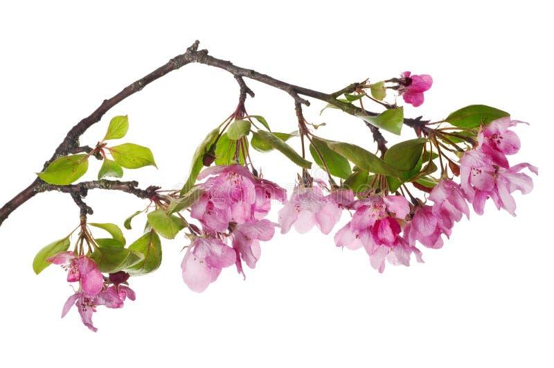 Roze Apple-boom geïsoleerde tot bloei komende tak stock foto