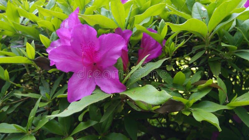Roze azaelias stock afbeelding