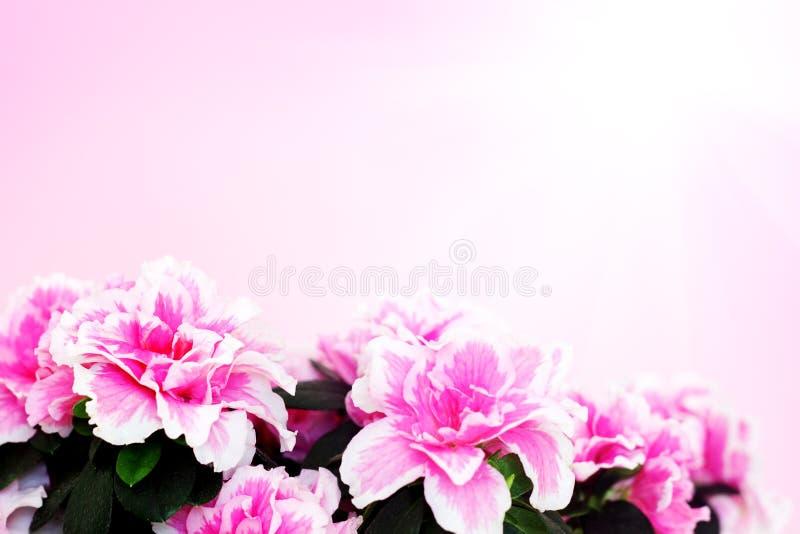 Roze azalea royalty-vrije stock fotografie