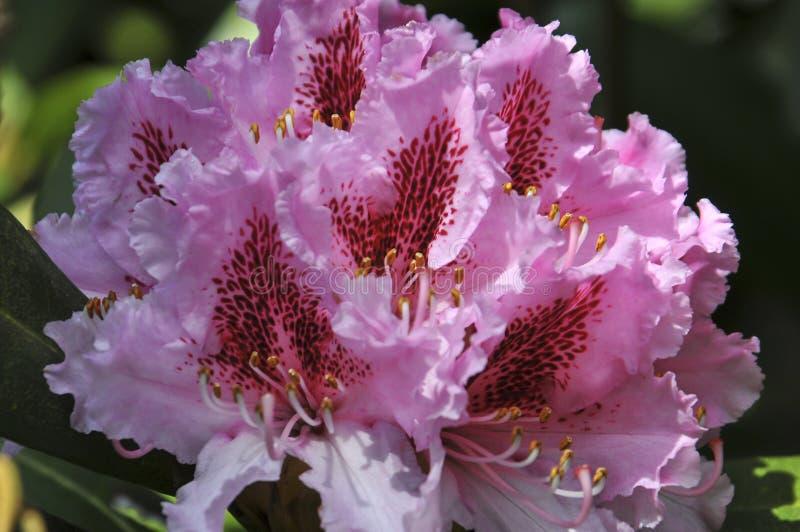 Roze Azalea royalty-vrije stock foto