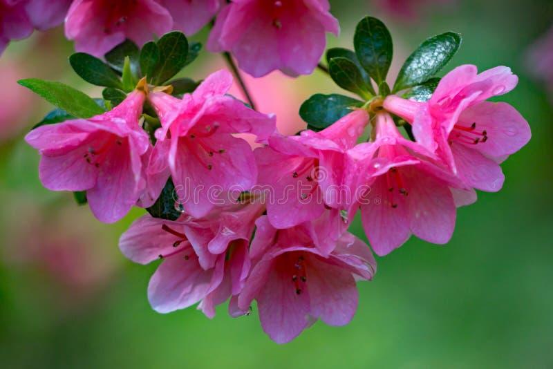 Roze Azalea Blooms royalty-vrije stock afbeelding