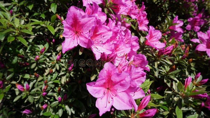 Roze azalea in de tuin stock foto's
