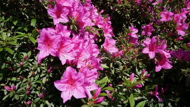 Roze azalea in de tuin royalty-vrije stock foto's
