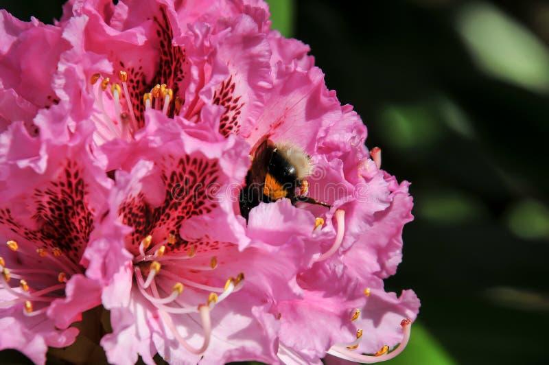 Roze azalea met een stuifmeel van de bijenoogst royalty-vrije stock afbeelding
