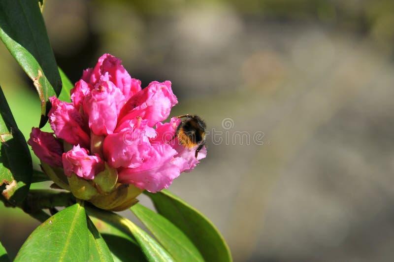 Roze azalea met een stuifmeel van de bijenoogst stock afbeelding