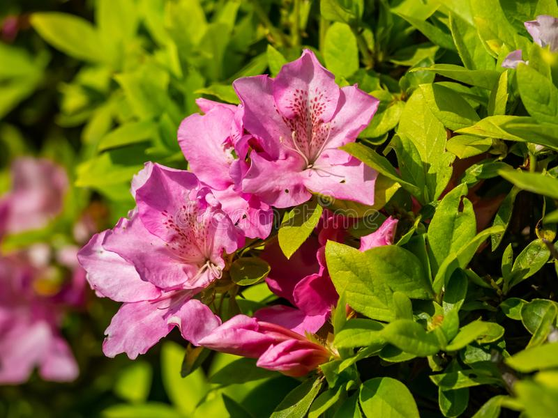 Roze azalea'shagen in bloei royalty-vrije stock afbeelding